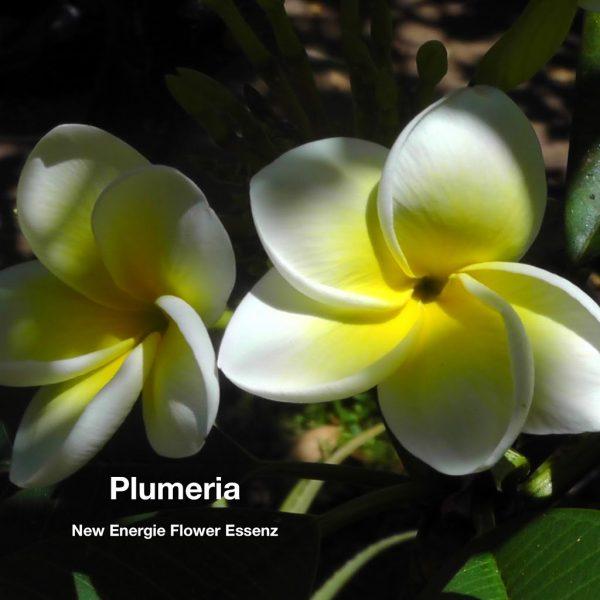 Plumeria Blütenessenz Wolfgang Riedl