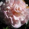 Kamelie rosa gefüllt