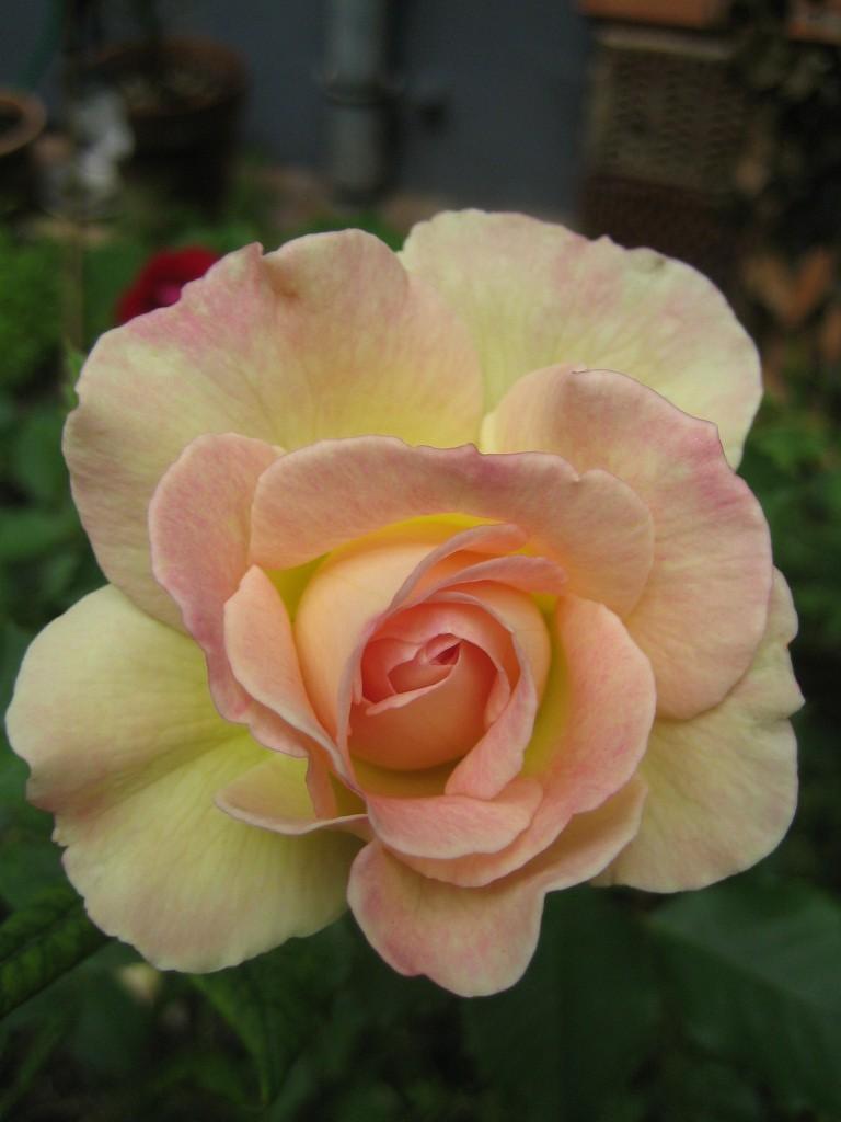 lachsrose Edelrose Blütenessenz von Wolfgang Riedl