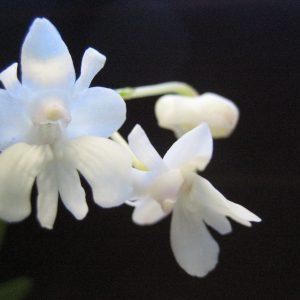 Abweichende Dendrobium