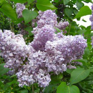Blass-violette Fliederblüte
