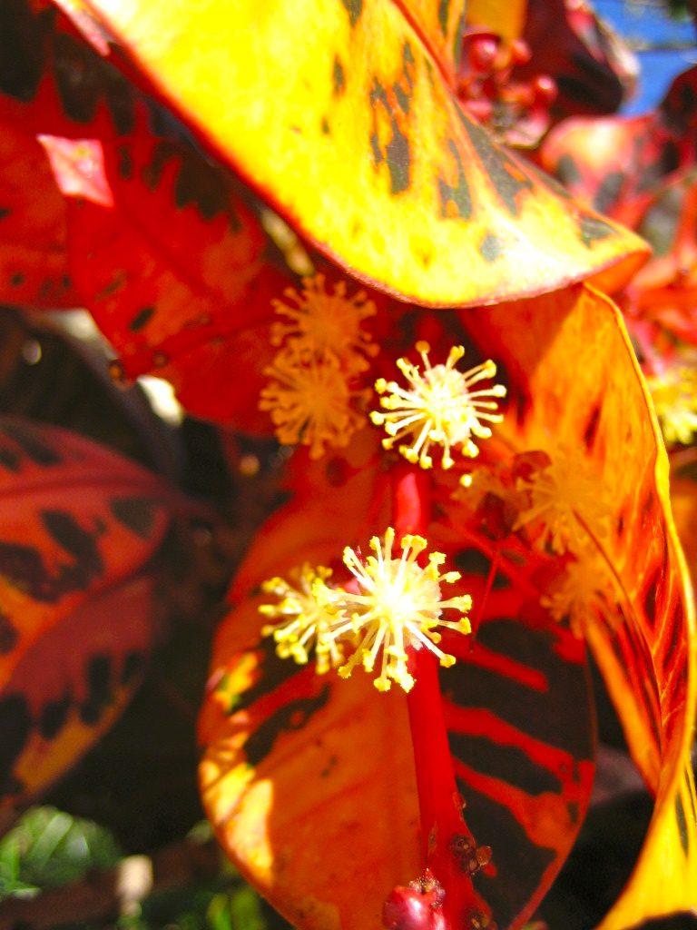 Croton – Wunderbaum Blütenessenz Wolfgang Riedl
