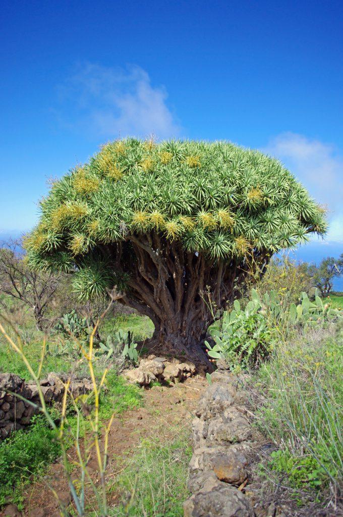 Drachenbaum Blütenessenz Wolfgang Riedl