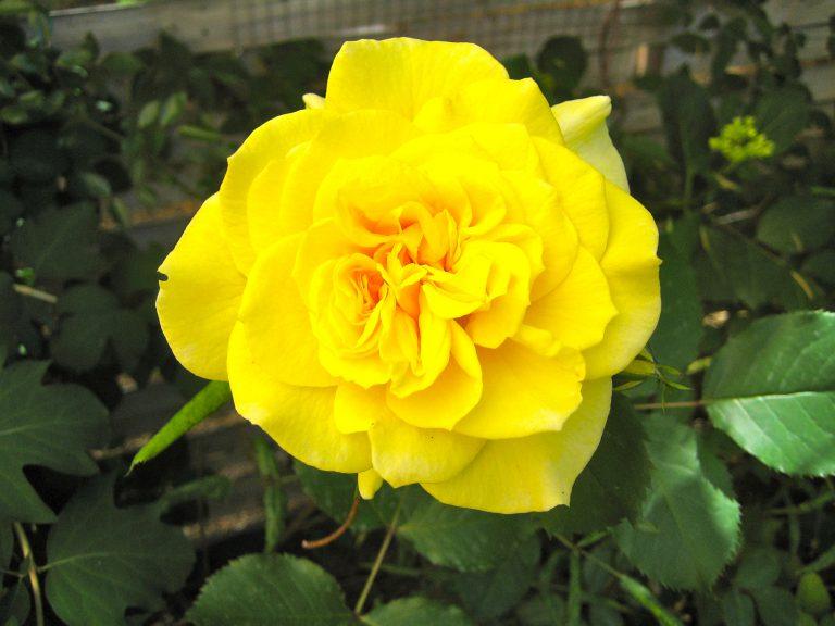 Gelbe Edelrose %22Landora%22