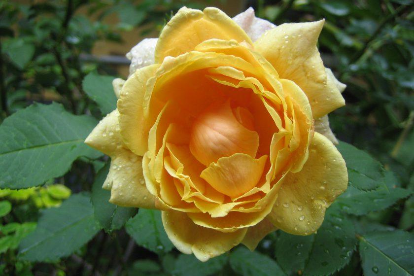 ACHTUNG das Neue New Energy Flower Essenz Rosen Set ist da……