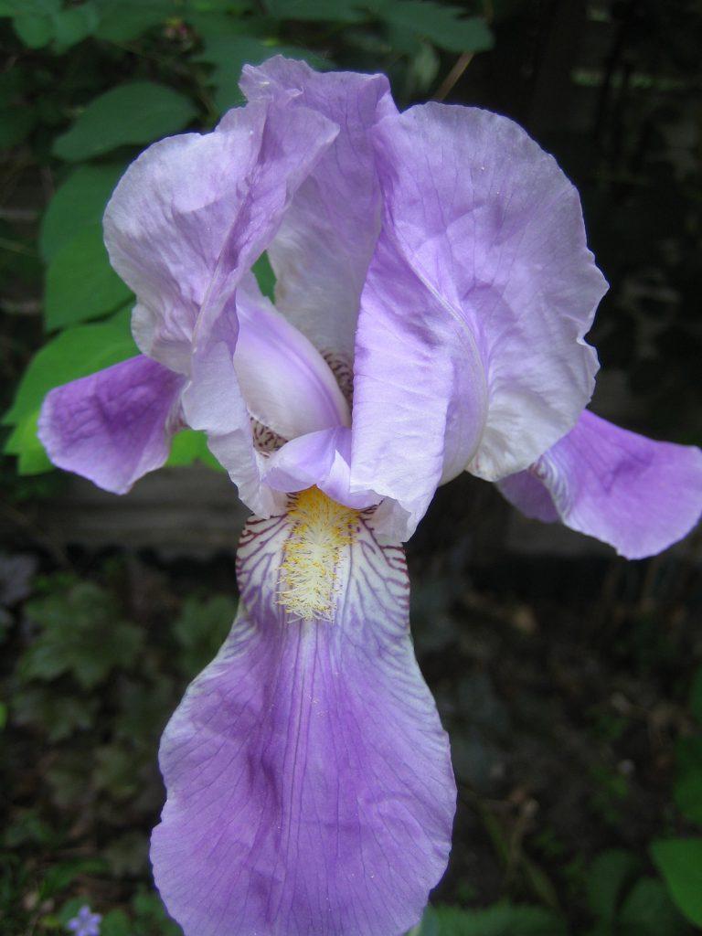 Lila Iris Blütenessenz Wolfgang Riedl