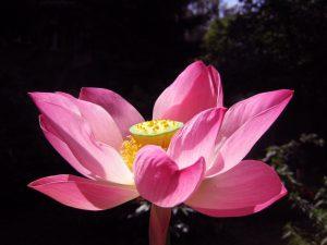 Lotus Charles Thomas Blütenessenz Wolfgang Riedl