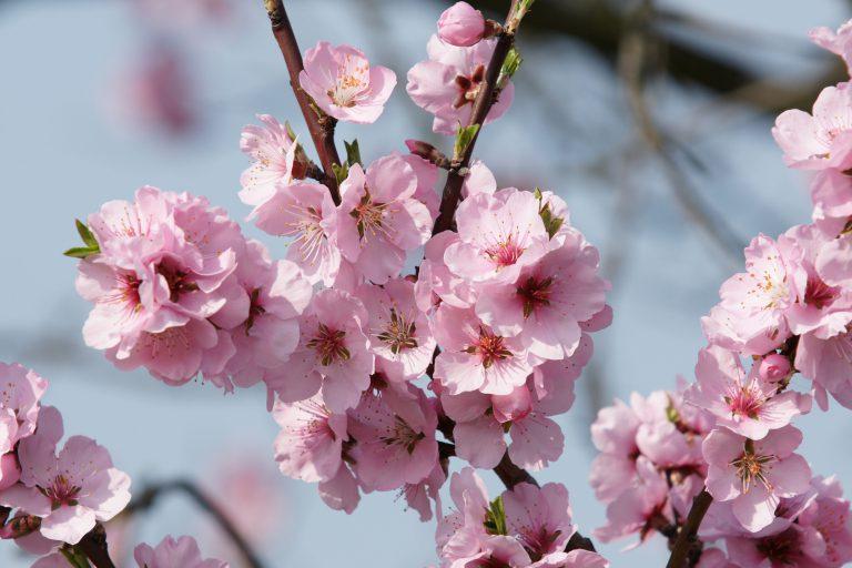 Mandelbüten Blütenessenz Wolfgang Riedl