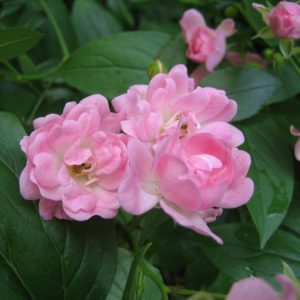 Pink Fairy Rose