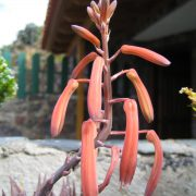 Rote Aloe
