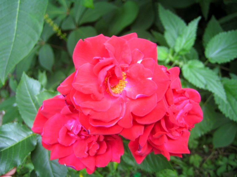 Rote Rose Nina Weibuhl