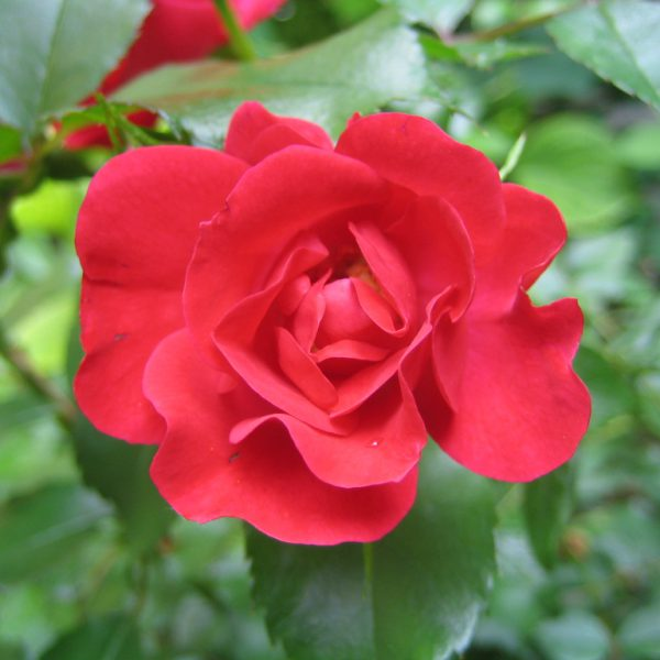 Rote Rose Robusta
