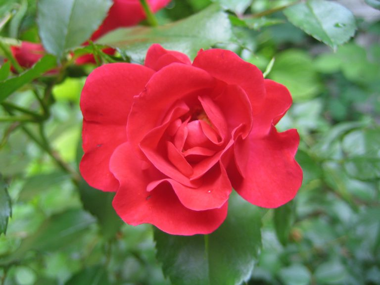 Rote Rose Robusta