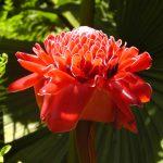 Roter Fackelingwer Blütenessenz Wolfgang Riedl