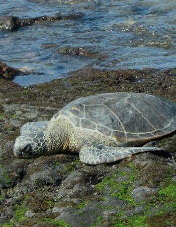 Sea Turtle Jane Bell Essence