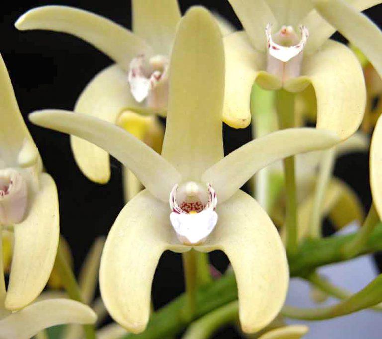 Sydney Rock Orchidee Blütenessenz von Wolfgang Riedl