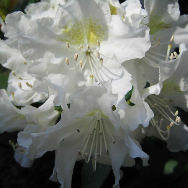 Weißer Rhododendron 'Cunningham's White' Blütenessenz Wolfgang Riedl