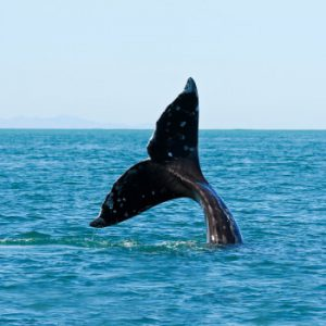 Whale_350x450_rev
