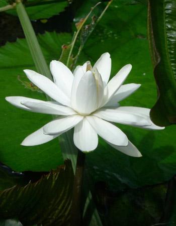 White-Pond-Lily-