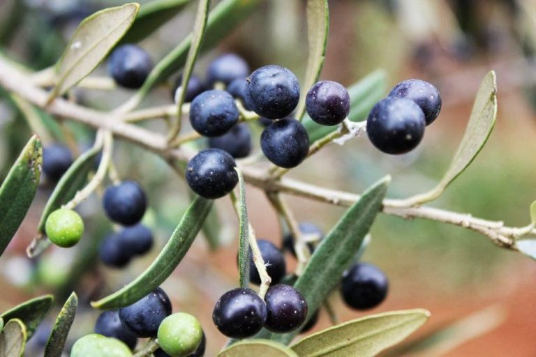 Wild Olive Fruit