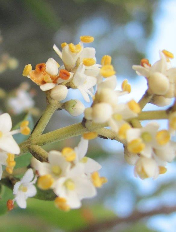 Wild Olive flowers