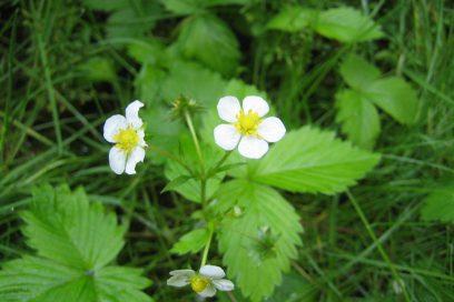Die wilde Erdbeerblüten Essenz Unterstützung für Balance vonFemininer & Maskuliner Energie