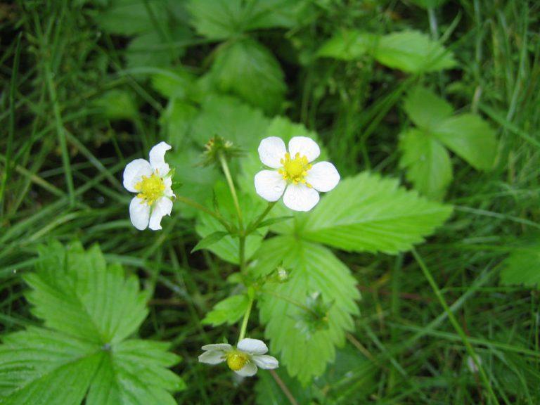 Wilde Erdbeerblüte Blütenessenz Wolfgang Riedl