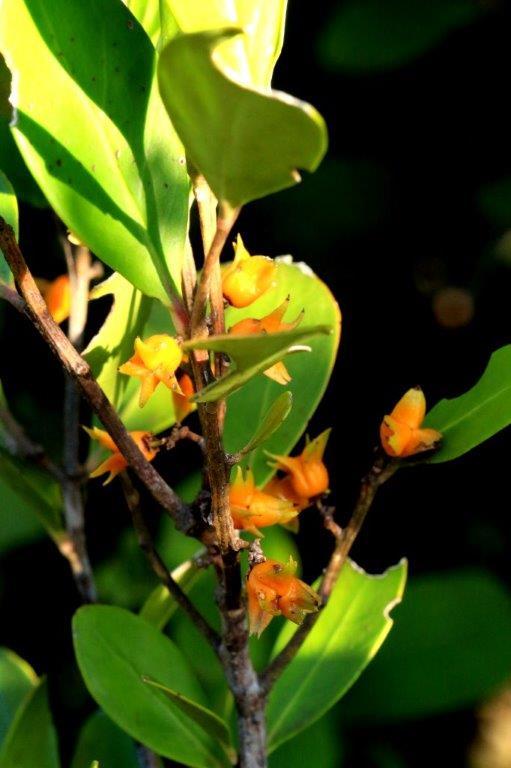 cherry wood fruit