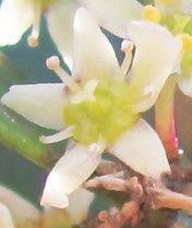 cherry wood Flower