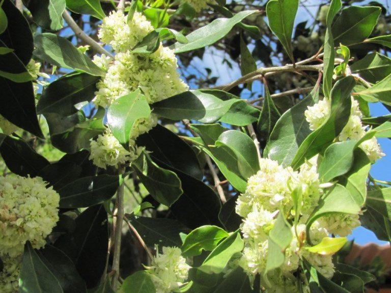 hard pear flowers