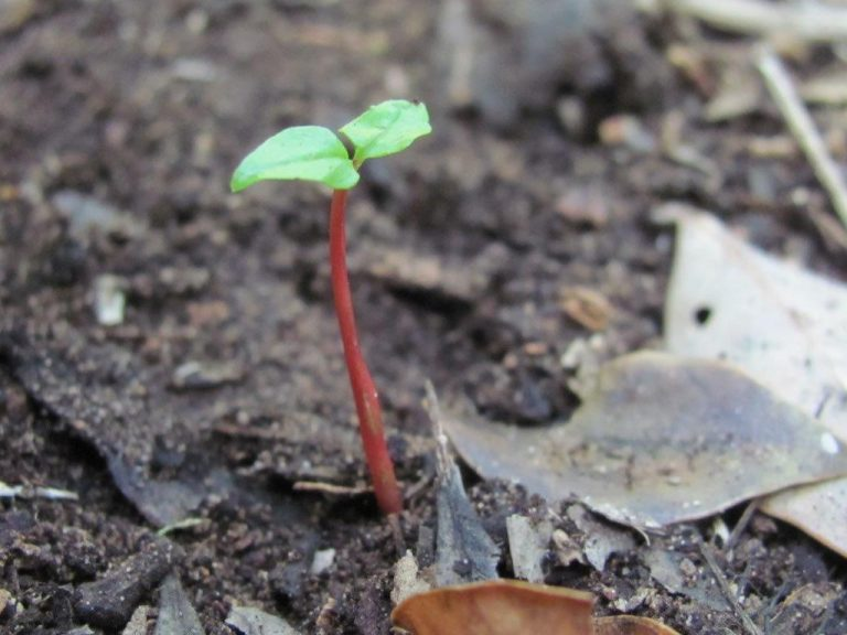 hard pear seedling