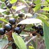 milkwood berries