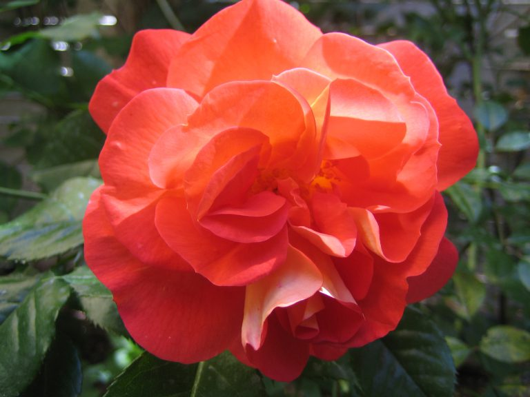 orange Edelrose
