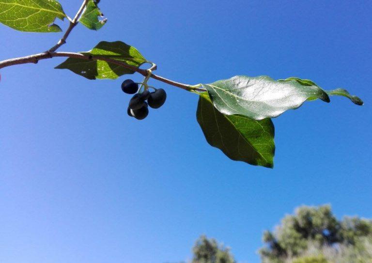 rock alder fruit