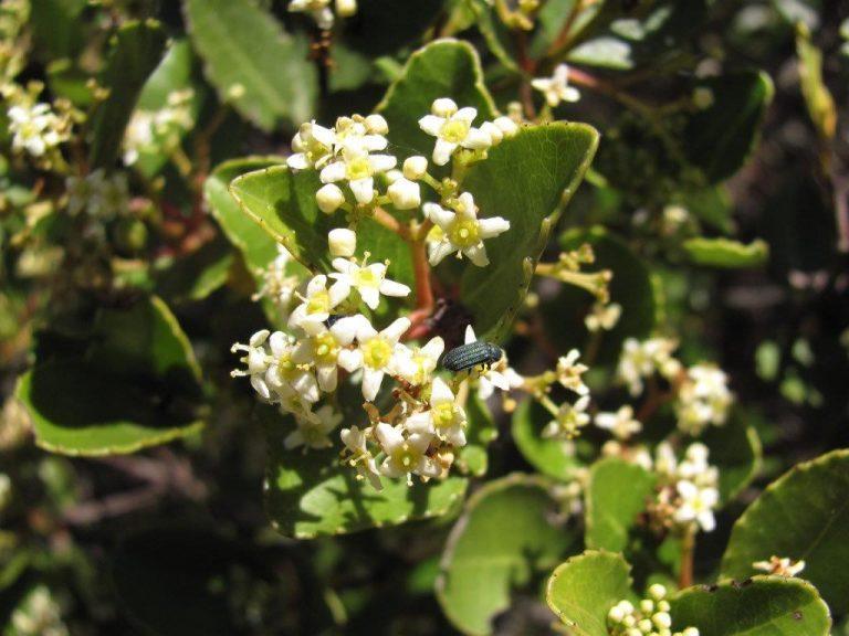saffronwood flowers