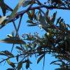 spike thorn fruit