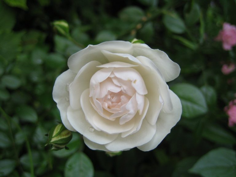 white Fairy Rose Blütenessenz Wolfgang Riedl