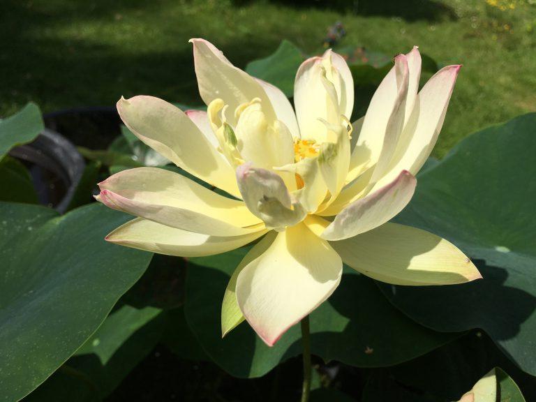 Kleiner dreifarbiger Lotus