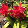 Temple of inner Light rote Cattleya Orchidee Wolfgang Riedl