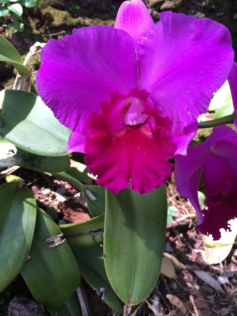 Temple of inner Light Cattleya Orchidee violet Wolfgang Riedl
