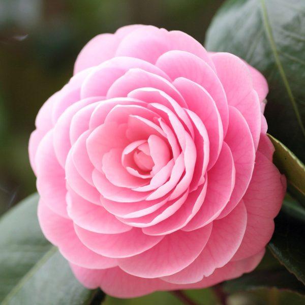 Kamelie Rose 2