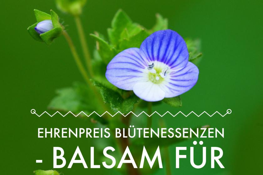 Ehrenpreis – der Balsam für raue Zeiten