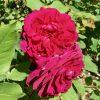 Rose 'Munstead Wood'