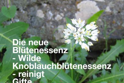 Die neue Blütenessenz – Wilde Knoblauchblütenessenz – reinigt Gifte