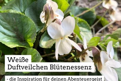 Weiße Duftveilchen Blütenessenz  – die Inspiration für deinen Abenteuergeist
