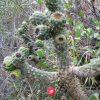 Baum-Cholla-Kaktus