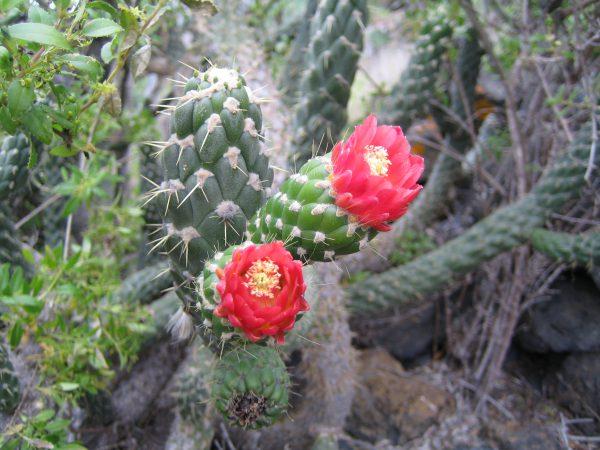 Baum-Cholla-Kaktus 2