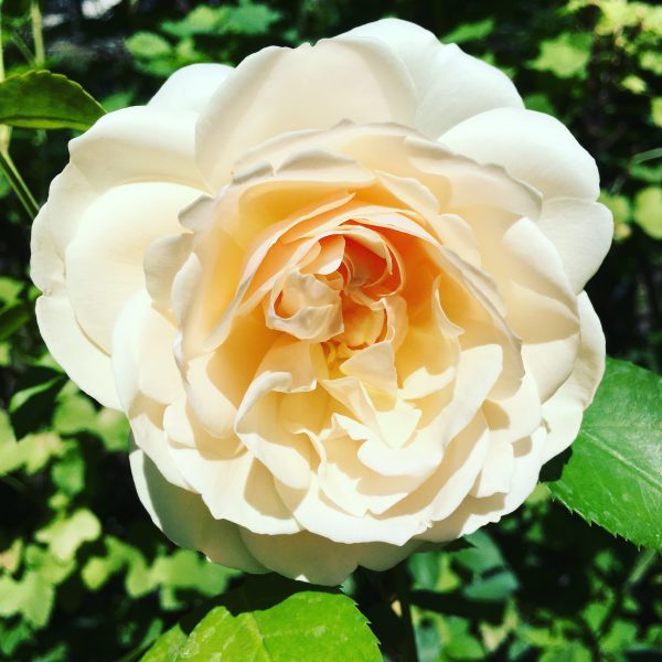 Lichtfield Angel Rose