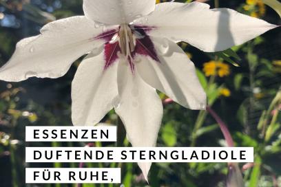 Blütenessenzen der Duftende Sterngladiole für Ruhe, Anmut und Schönheit