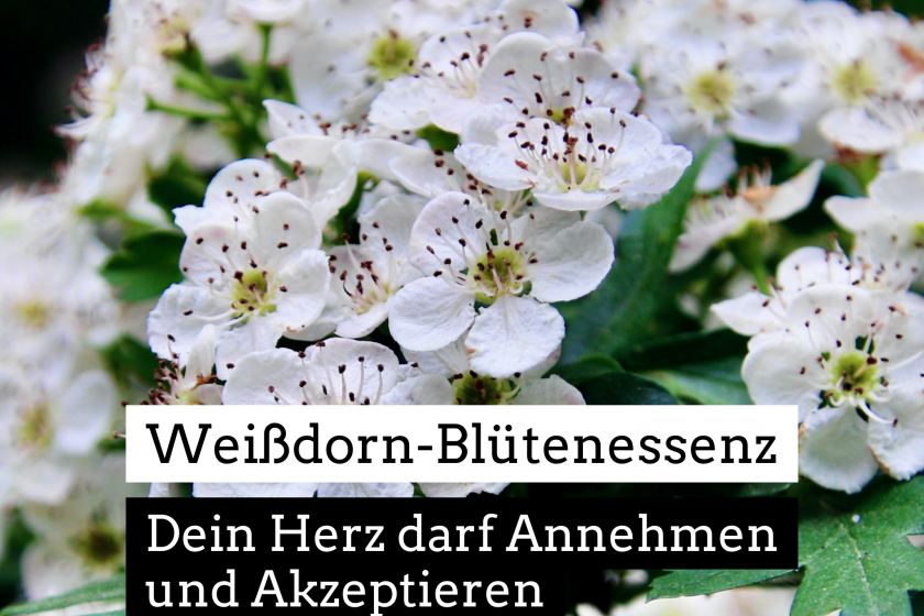 Weißdorn-Blütenessenz – Dein Herz darf Annehmen und Akzeptieren